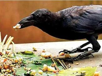 Do our ancestors really come to eat food in the form of crows know the truth